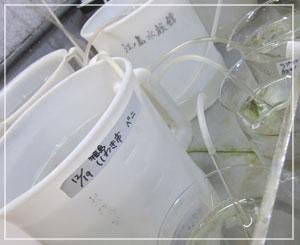 「福島県いわき市」のビーカーの中にはたくさんのベニクラゲ!