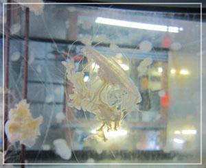 えのすいのクラゲ飼育のバックヤード。これはサムクラゲ、かな