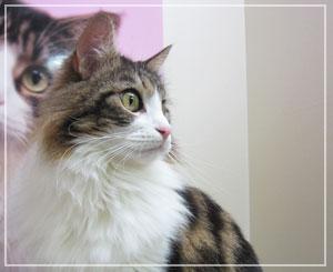 猫カフェ「きてぃぼっくす」にて、メインクーンの雨月さん。美しい……♪