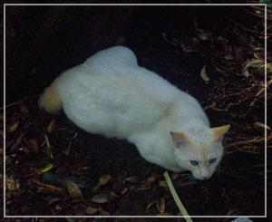 江の島の猫さんその2。目が青いんです。