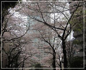 溜池山王の桜並木。やっとお花見できました♪