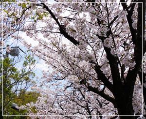 今年の桜は入学式にばっちり合うタイミングで満開!