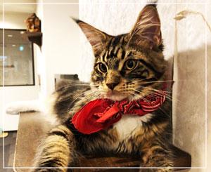 猫カフェ「きゃりこ」にて。受付階がテリトリーなのかな、コウガくん。