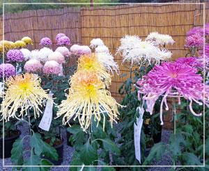 ちょうど菊花展も開催中。綺麗な花が沢山並んでました。