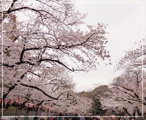 期せずしてお花見もできちゃいました。上野の桜は、さすがの美しさ。