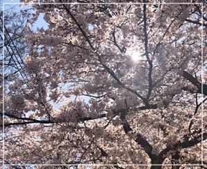 地元はけっこう桜のスポットがあって嬉しいことです。千葉もやっと満開!