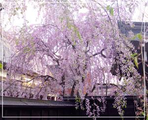 伝承館のしだれ桜はぎりぎり綺麗。ちょっと濃いめの薄紅色。