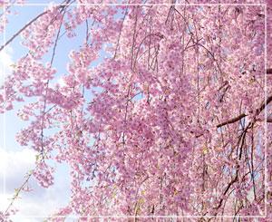 一番綺麗だったのは、駐車場に咲いていたこの樹でした。