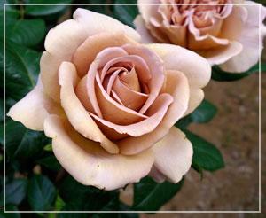 これは私の大好きな薔薇、「カフェラテ」。ほんとに美味しそうな色合いで。