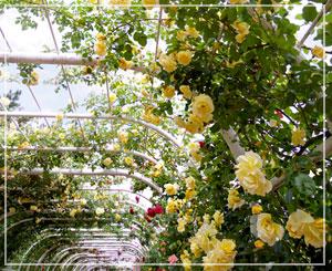 薔薇の大アーチと大パーゴラも圧巻なのです。